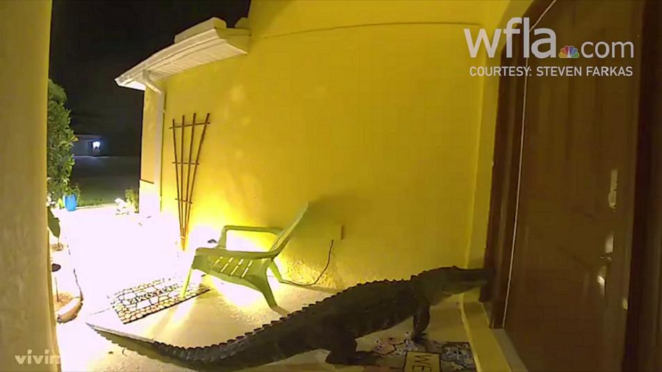"""""""HASTA LA COCINA"""", COCODRILOS EN LA FLORIDA: VIDEO VIRAL"""